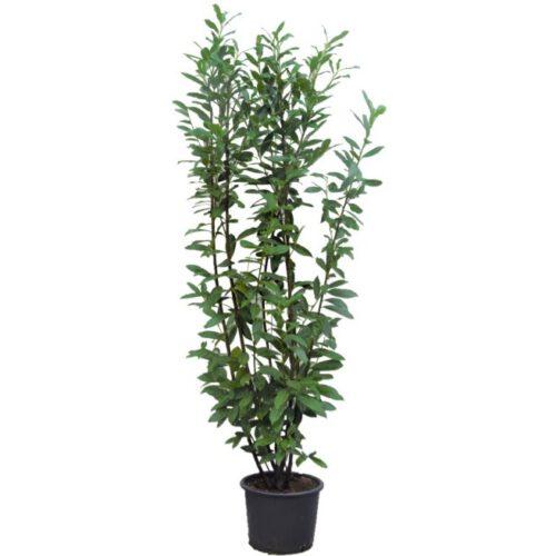 20201005 Prunus Laur Caucasica c20 175_200 cm kleur site