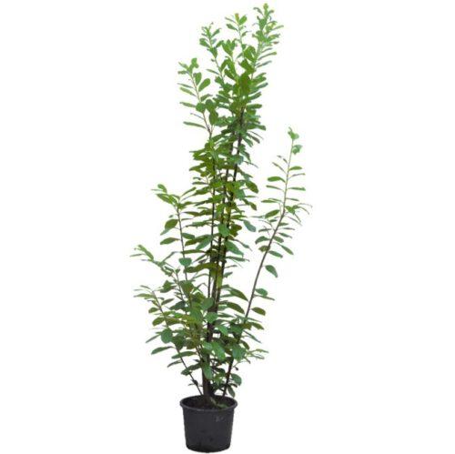 20201005 Prunus Laur Novita c20 175_200 cm kleur site